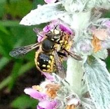 ~ A wool carder bee, a harmless solitary bee species and excellent pollinator - Beneficial Insects ~