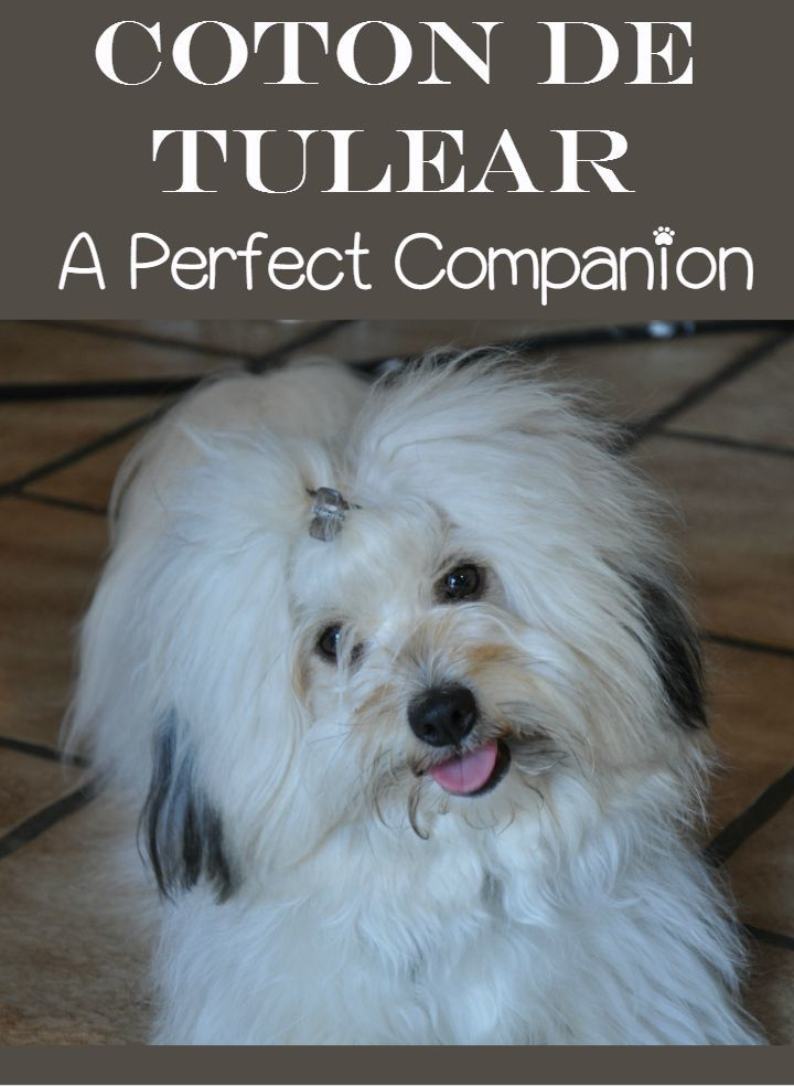 The Coton de Tulear is the perfect family companion. The Coton de Tulear is a clownish, sweet-natured hypoallergenic dog who loves its people!