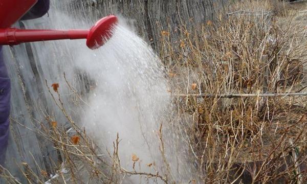 Борьба с вредителями сада методом ошпаривания Сейчас поговорим о таком агроприеме, как ошпаривание кустов. Вот примеры некоторых рекомендаций: «Ранней весной, когда еще снег не растаял полностью, обливаю смородину горячей водой (приблизительно 80°С) из лейки (десятилитровой