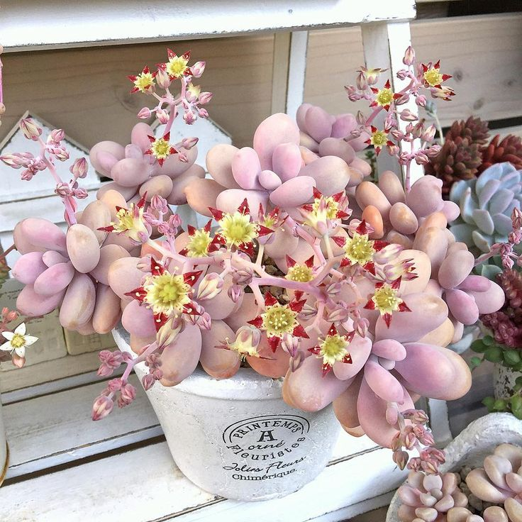 "2,203 Likes, 156 Comments - 凜歩々☆(りんぽぽ) (@limpopo_v_v_) on Instagram: ""・・・ May 18, 2016 斬新なアメちゃんのお花、見てるとなんだか元気が出る〜 毎年お花を見せてくれるとってもいい子…"""