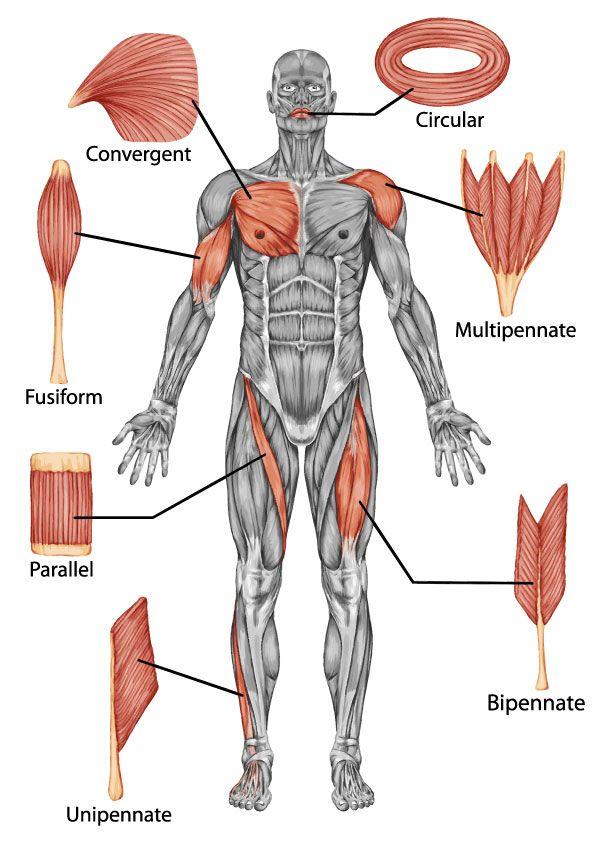 39 best muscles images on Pinterest | Músculos, El cuerpo humano y ...
