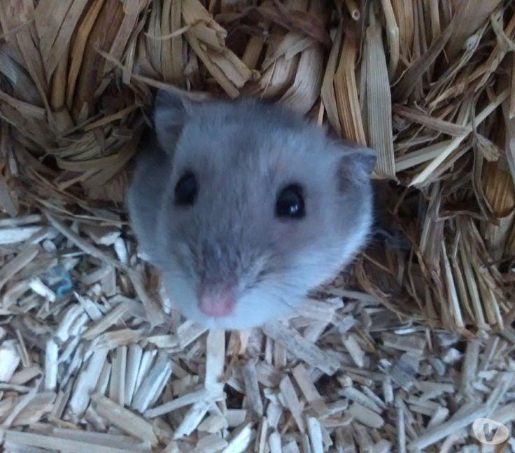Nom : Lutti Type/Race : Hamster Russe  Âge : née en 06/2015  Histoire: Trouvée par une jeune fille. Un homme se débarrassait de hamsters retenus dans 2 tiroirs en plastique superposés (format A4!!). La jeune fille voyant ça les a pris. Arrivée chez son père, forcément, ça n'a pas été très apprécié.   Lutti est assez caractérielle  FA : Lille Frais d'adoption : don libre