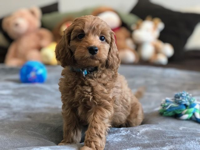Draco Teacup Labradoodle Mini Doodle Dogs Labradoodle Puppy