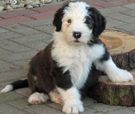james the old english sheepdog pictures 540995 look at those paws oes