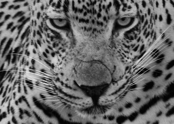 Photo by Grant Notten - Leopard