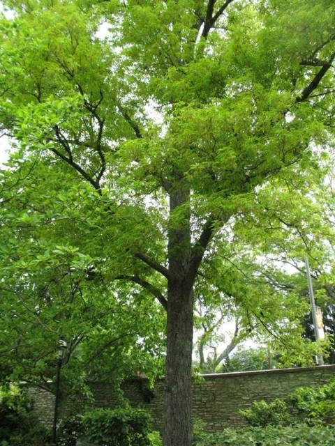 8 best hickory trees images on pinterest hickory tree for Best small shade trees