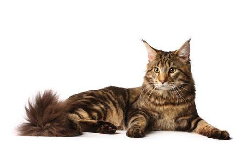 6 лучших пород кошек для детей — Рейтинг 2016 года (Топ 6)