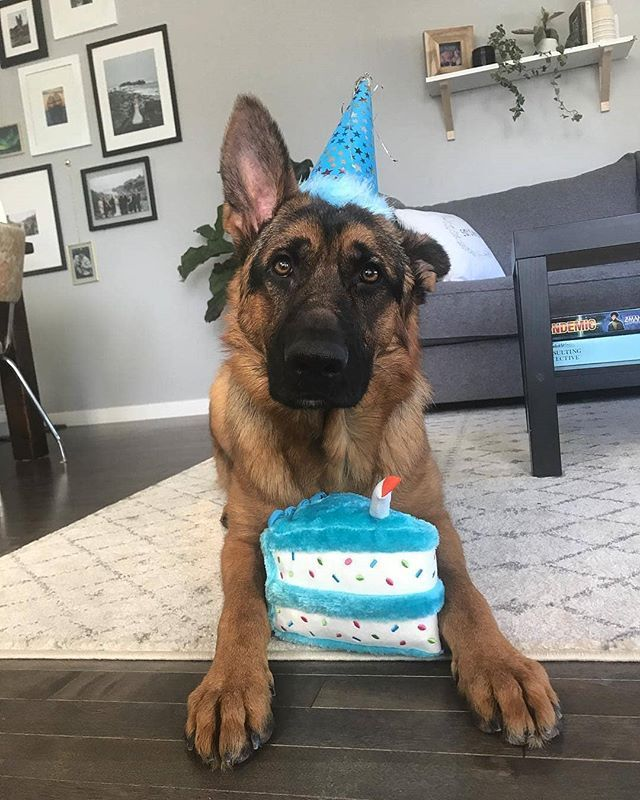 Pin On Precious Dogs German Shepherds And More