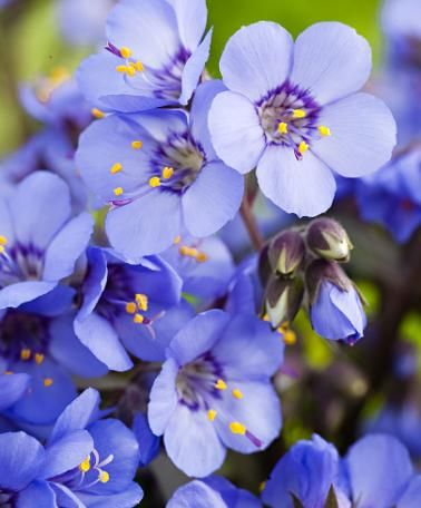 """Jacob's Ladder """"Heaven Scent"""".  A shade plant."""