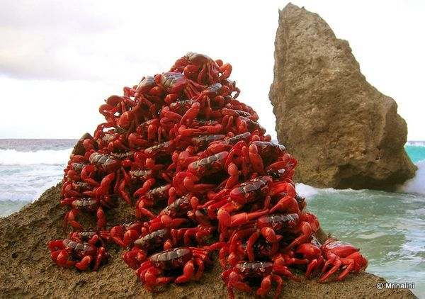 """Christmas Island Crabs """"When the wet season blows into Christmas Island each year, millions of Christmas Island red crabs hike for several days, from a high rain forest plateau down to Indian Ocean beaches, where the crabs mate in burrows."""""""