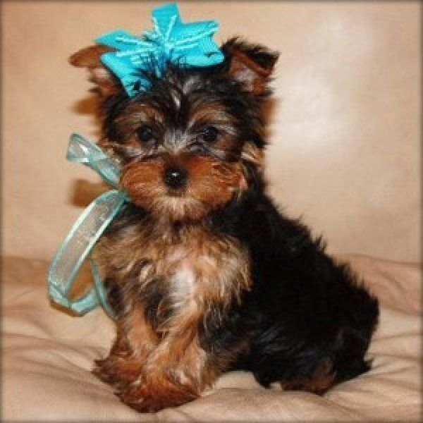Beds For Sale: Yorkie Dog Beds For Sale
