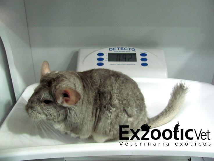 Control de peso en Chinchilla.