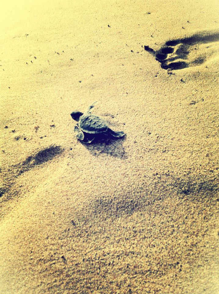 #turtle at Pangumbahan beach, Sukabumi, West Java, Indonesia