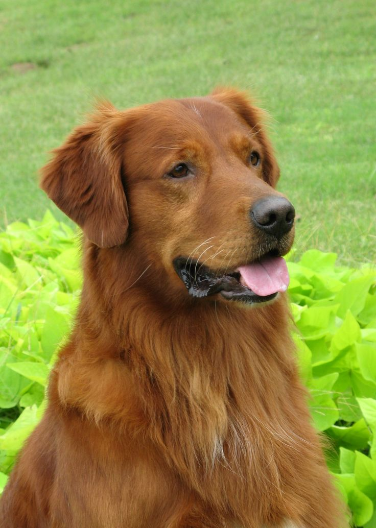 Pin von Catherine Byrne auf Golden Retrievers Hunde, Tiere