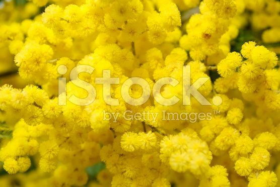 Wattle Bloom Background royalty-free stock photo