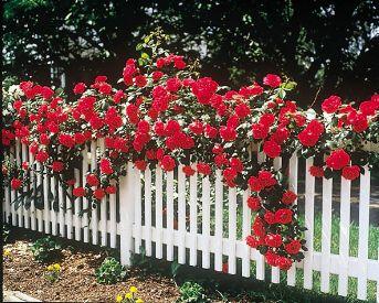 rose gardensRose Climbing, Rose Gardens, Picket Fence Rose, Blaze Rose, Climbing Roses, Flower Gardens, Red Rose,  Pale, Flower Fence