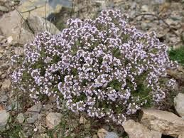 Η ΛΙΣΤΑ ΜΟΥ: Το θυμάρι. Το φυτό με τις περισσότερες ευεργετικές...