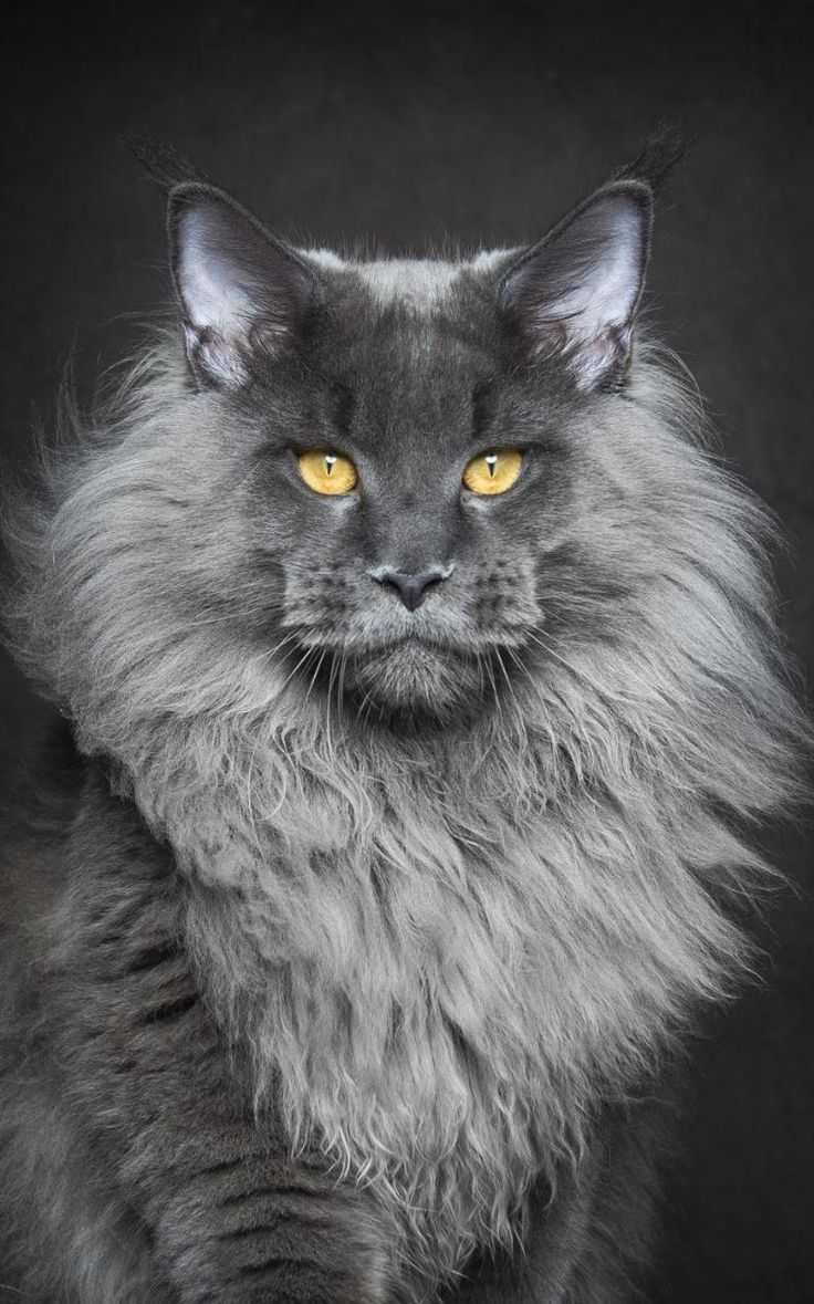 the Maine Coon cat, the largest breed of domesticated felines,