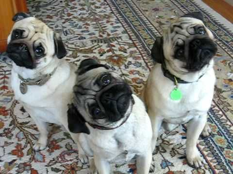"(VIDEO) This will definitely put a warm smile on your face. Here are three Pugs demonstrating the ""Pug Head Tilt""."