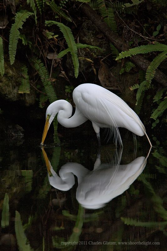 The Great Egret, (Great White Heron)