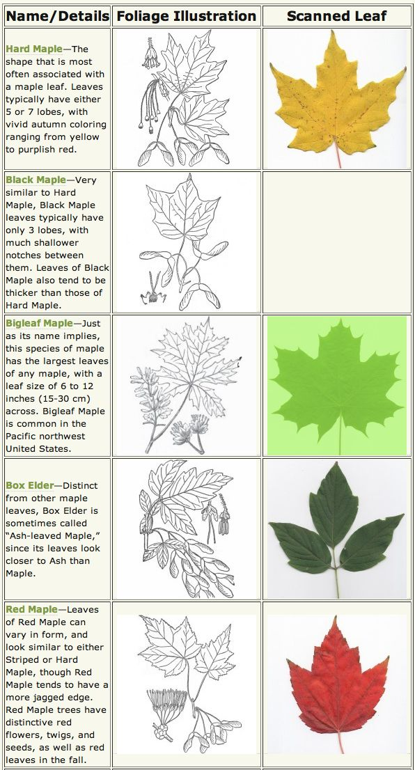 fruit tree leaf identification guide
