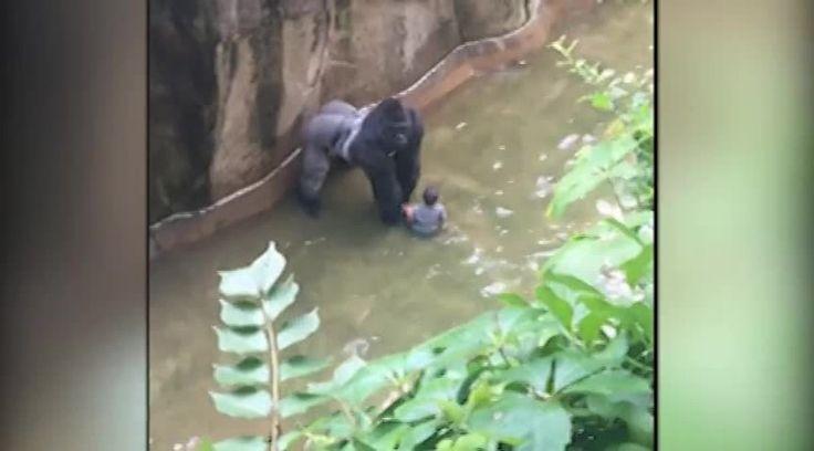 Gorilla grabs child who's gotten into habitat ~ Ardan News
