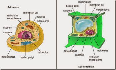 Perbedaan Sel Hewan dan Sel Tumbuhan - http://www.ngikik.com/perbedaan-sel-hewan-dan-sel-tumbuhan.html