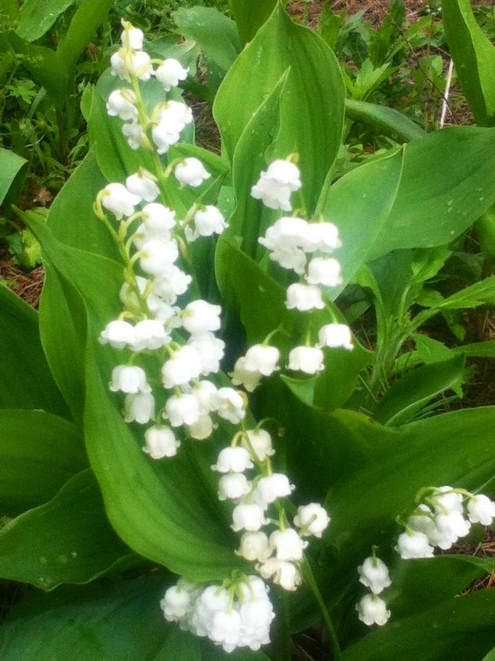 the 25+ best muguet porte bonheur ideas on pinterest | 1 er mai