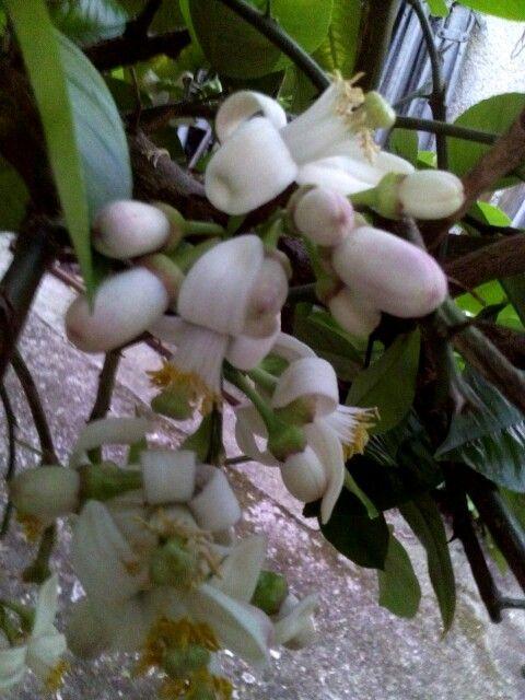 Floare de lamai