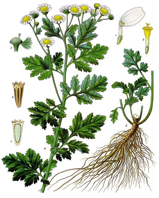 Mutterkraut: Alte Heilpflanze besitzt Wirkstoff zur Nervenregeneration . . . http://www.grenzwissenschaft-aktuell.de/mutterkraut-nervenregeneration20160411