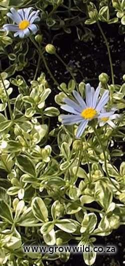Felicia amelloides variegata (Variegated Felicia)