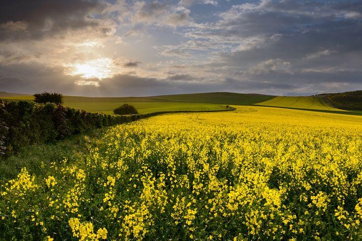 Rapeseed field - Audembert, France