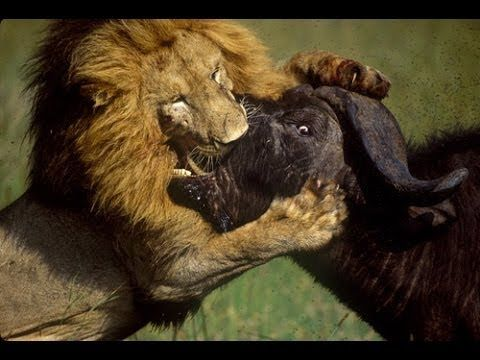 Life of Lions - Hunting, Fighting & Mating [Full Documentary 2014]