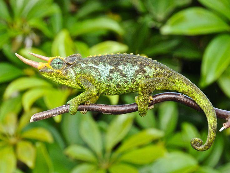 JACKSON'S CHAMELEON | Premium Jackson Chameleons for sale: Buy Jacksons chameleons for sale ...