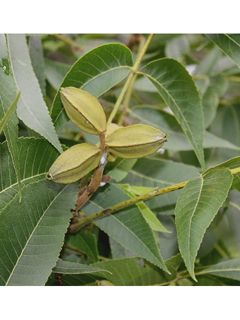 Carya illinoinensis (Pecan)