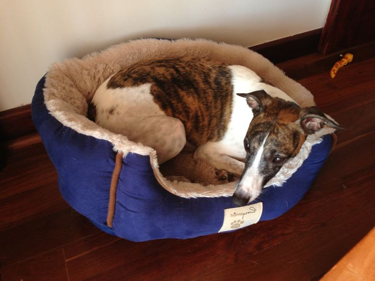 Whippet in the cat bed