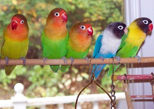 SiKemprus.XYZ – Daftar harga burung lovebird lengkap terbaru paling update 2016. Bagi kamu yang hobi memelihara hewan jenis unggas ini tentunya sudah pasti mengetahui bahwa lovebird atau biasa kita kenal dengan sebutan labet merupakan jenis burung yang sangat diminati banyak orang