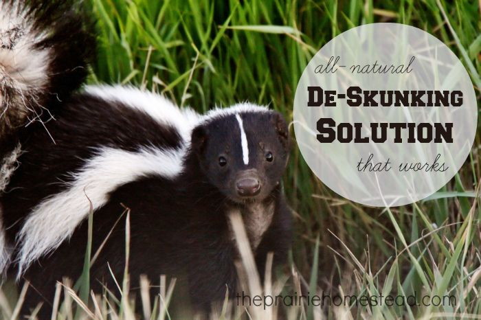 A super cheap homemade de-skunking solution that really works!