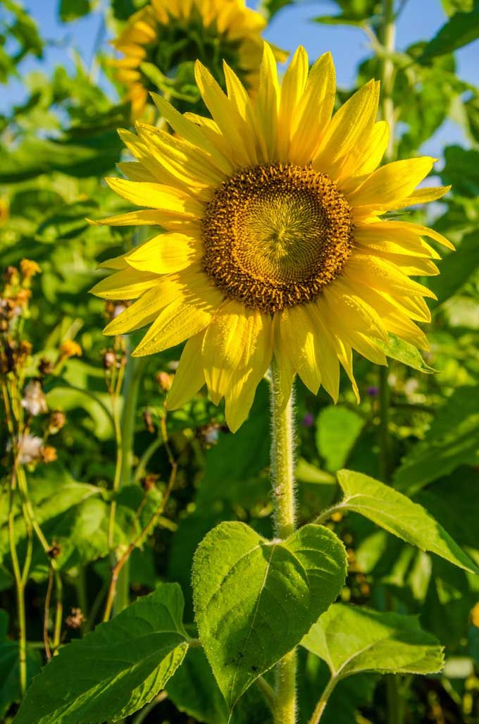 Want a nice pop of color in your landscaping? Grow beautiful sunflowers! They are easy peasy to maintain and are a perfect selection for low maintenance annual flower. Learn more now: https://gardenerspath.com/plants/annuals/sunflowers-beautiful-tasty-addition-landscape/