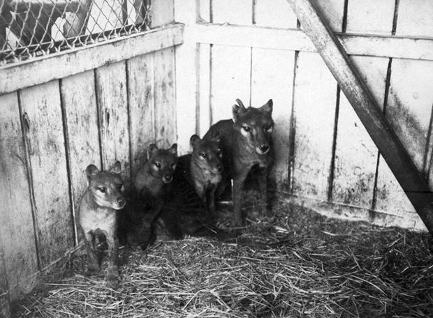 A female thylacine and her pups at the Beaumaris Zoo in Hobart. The private zoo closed in 1937. Like the wombat, the thylacine had a backwards-facing pouch and their young developed inside its protection. Females usually had litters of three to four pups.