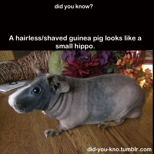 Why would I know this? I've got too much going on to be meticulously shaving guinea pigs for my own amusement.
