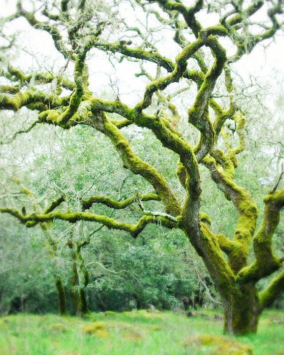 Tree photography,  Mossy Woods - Woodland photograph fairy magical photograph dreamy moss green olive green photography 8x10. $30.00, via Etsy.