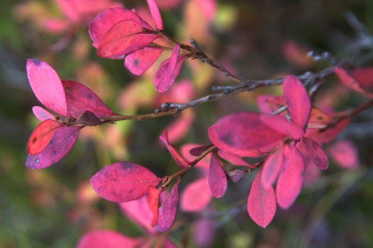Autumn colours in Ruka-Kuusamo, Lapland, Finland.