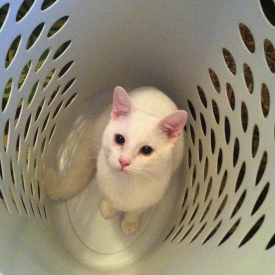 21 Best Cats Doing Laundry Images On Pinterest Kitty