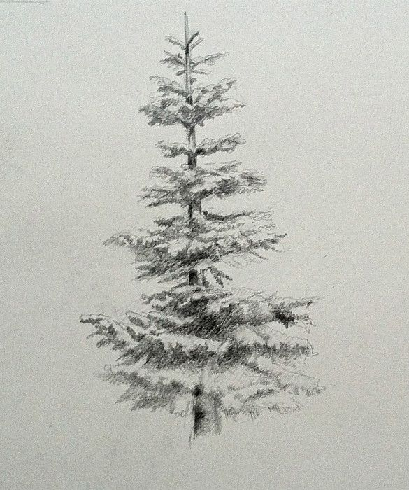 noble fir, evergreen, drawing, graphite | Tree tattoos ...