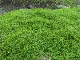 Baccharis pilularis- dwarf coyote bush