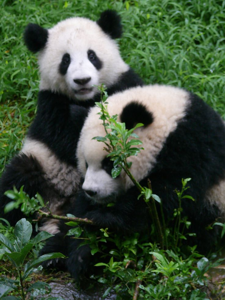 Pandamonium in Chengdu, China. Pandas are my favourite animal. Its not hard to see why. They are too damn cute!