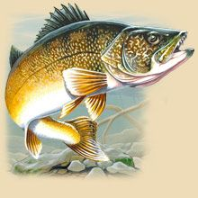 Walleye Facts, Information, Photos, and Fishing Tips
