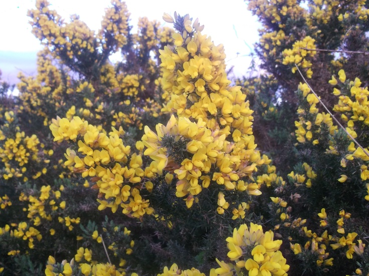 Gorse in bloom, Apr 2012