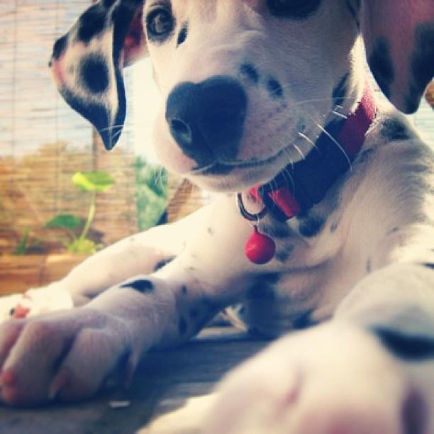 Dalmatian. I miss my dog :(